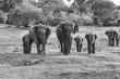 wild elefants in the jungle - 236147264