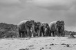 herd of elephants in Pinnawella - 236147289