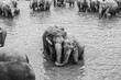 elephants in the river in Pinnawella - 236147291