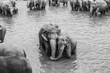 elephants in the river in Pinnawella - 236147291
