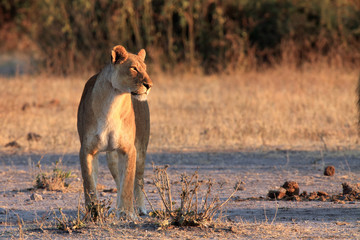The Transvaal lion (Panthera leo krugeri) also known as the Southeast African lion .Lioness on savannah.