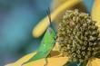 A  green grasshopper in nature background.