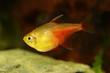 Quadro Aquarium fish Red Flame Tetra Hyphessobrycon flammeus Rio tetra tropical