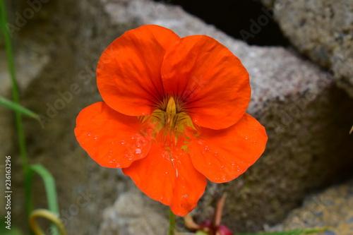 Orange flower in the garden - 236163296