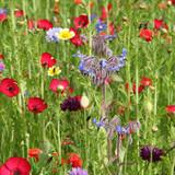 Borago officinalis dans un gazon fleuri