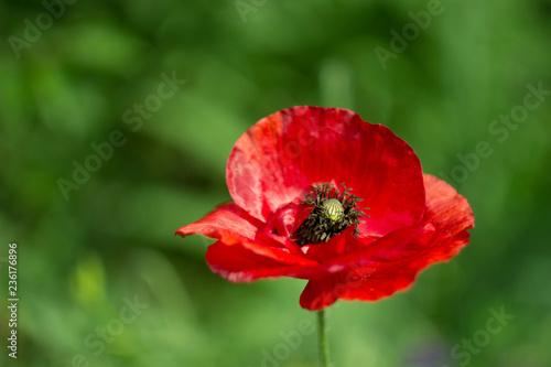 red poppy flower - 236176896