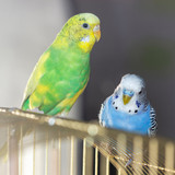 two wavy parrots sit on a cage