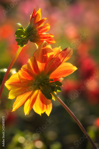 Two yellow and red dahlias in the sunshine