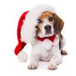 Leinwandbild Motiv Adult beagle dog with santa hat lying  isolated on white background and looking to the camera