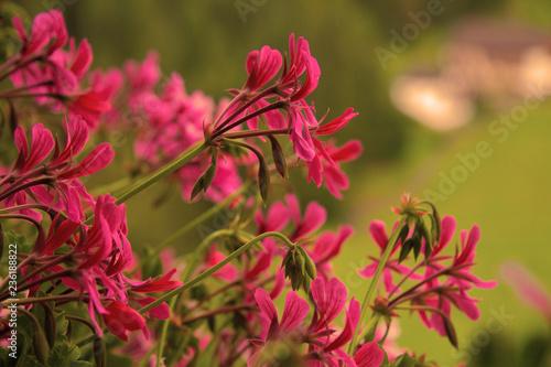 Fiori Rosa Su Sfondo Verde Buy Photos Ap Images Detailview