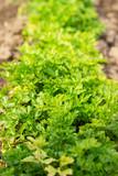 Fresh green parsley growing in a garden - 236190271