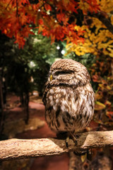 Small an cute owl sitting on a branch in Kamakura Owl's Forest © marksteel