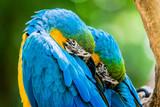 Macaws, Araras, Macaw