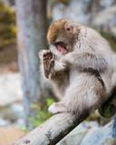 Snow monkey grooming foot - 236209875