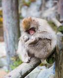 Grooming snow monkey - 236209890