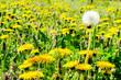 dandelions in a meadow, in Lisbon Capital City of Portugal