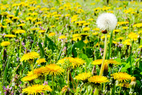 dandelions in a meadow, in Lisbon Capital City of Portugal - 236227424