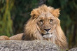 Closeup of a male lion sitting on a rock