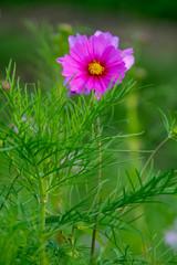 Bela flor Cosmos