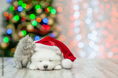 Kitten sniffing sleepy white fluffy samoyed puppy in red santa hat  on a background of the Christmas tree. Empty space for text - 236263242