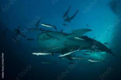fototapeta na ścianę Whale Shark
