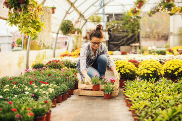 Smiling female florist putting flowers in crate while kneeling in greenhouse. Flowers in pots all around.
