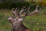 Red deer in rut