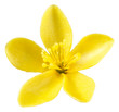 ST.JOHN'S WORT FLOWER,CUT OUT