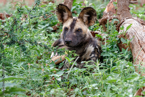 Wild Dog resting - Zimanga Game Reserve - South Africa