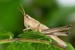 Grasshopper (Chrysochraon dispar)
