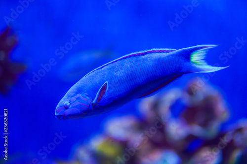 Leinwandbild Motiv blue tropical fish