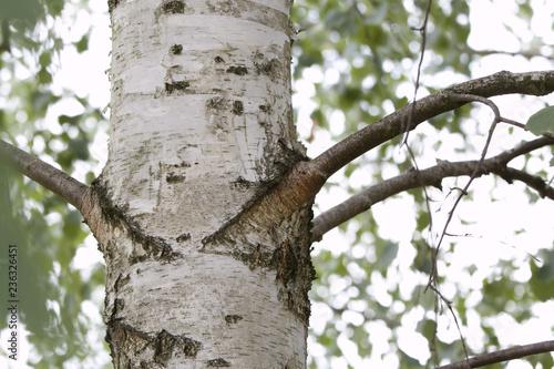 Brzoza drzewo latem rosnące w parku lesie ogrodzie wiejska okolica - 236326451
