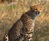 Gepard, sitzend