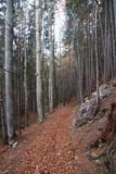 A beech forest in Vorderstoder, Austria, in late autumn. Europe. Background image. - 236330439