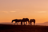 Wild Horses Silhouetted at Sunset - 236331254