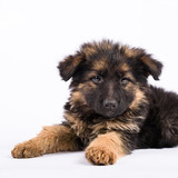 one german shepherd puppy posing on white background
