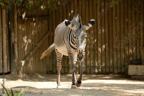Plakat zebry w zoo