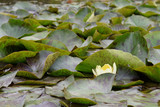 the yellow flower of the sacred lotus in the pond glows bright light