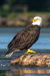 Perched Adult Bald Eagle on stump in water