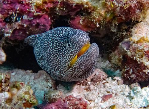 fototapeta na ścianę Yellowmouth Moray (Gymnothorax nudivomer) in the Indian Ocean