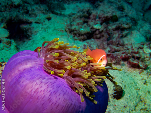 The Maldives Anemonefish (Amphiprion nigripes) is often found in beautifully coloured anemones amongst the coral