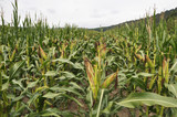 Corn after removing panicles on the maternal line - 236351669