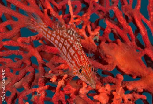 Leinwandbild Motiv Long-nose hawkfish on coral