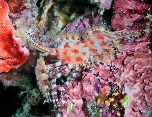 Common Marble Shrimp on reef © The Ocean Agency