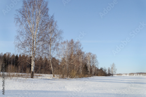 Winter landscape with bare birches