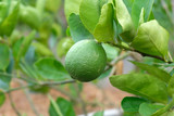 limes or green lemon on the lime tree