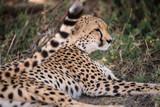 cheetah having rest