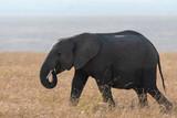 one isolated elephant