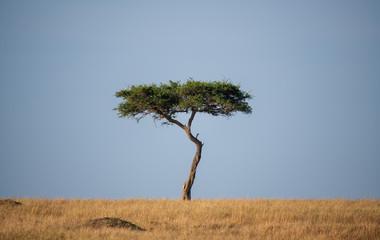 one tree in savanna
