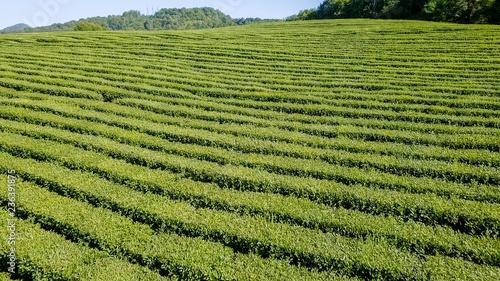 Lot nad plantacją herbaty. Krasnodar, Soczi, Rosja